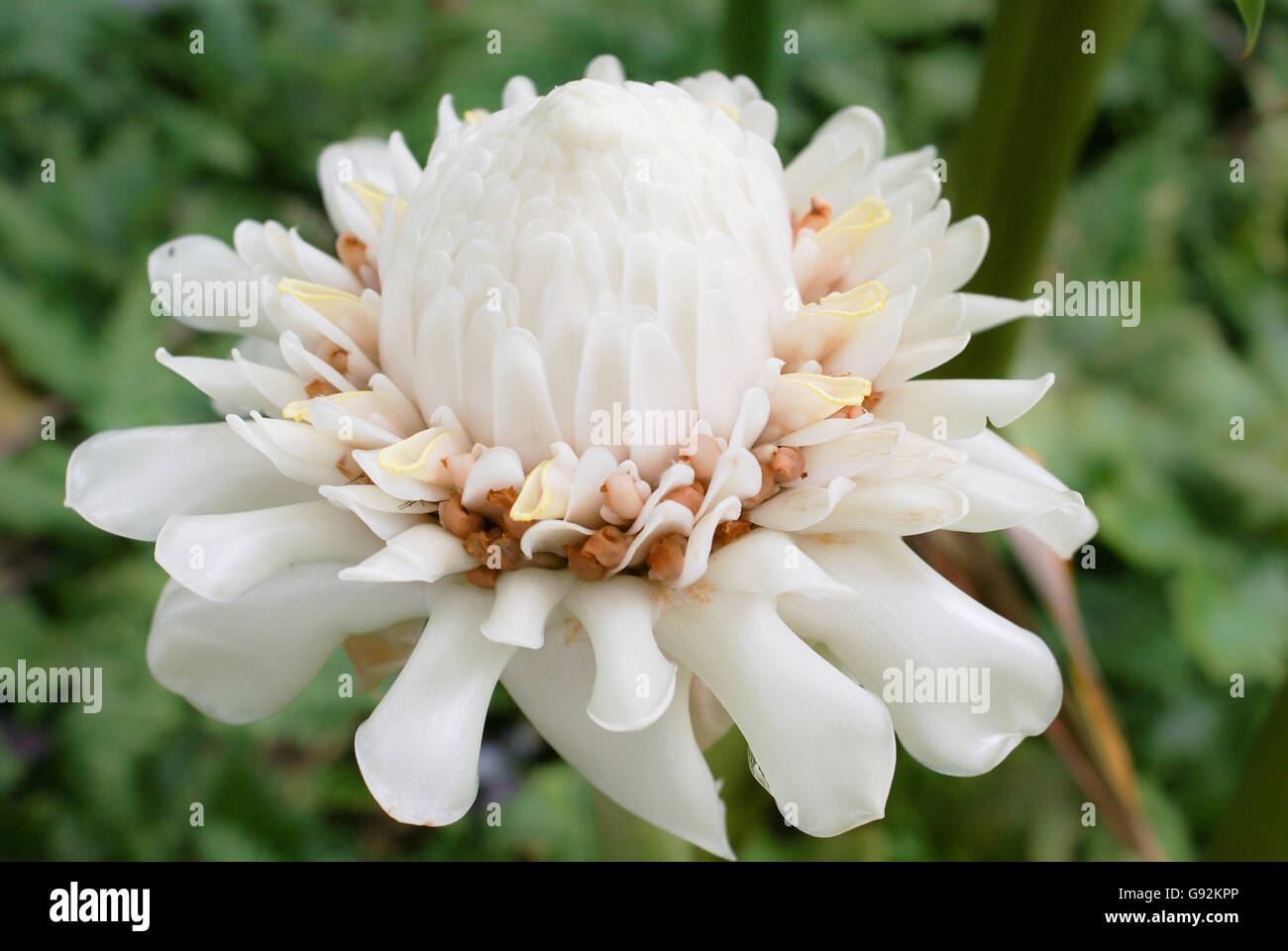 White Ginger Flower Coloring Page Ginger Lily Royalty Free Stock