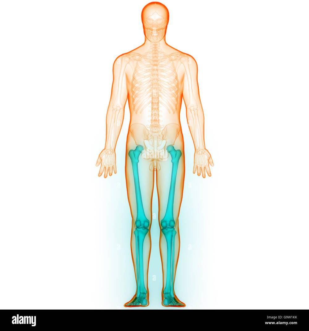 medium resolution of human body bone joint pains leg joints stock image