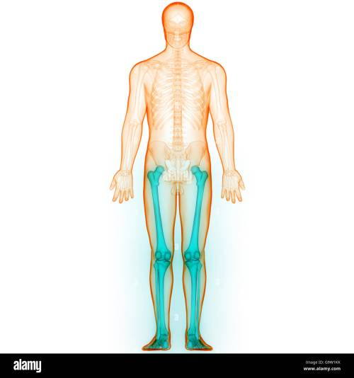 small resolution of human body bone joint pains leg joints stock image