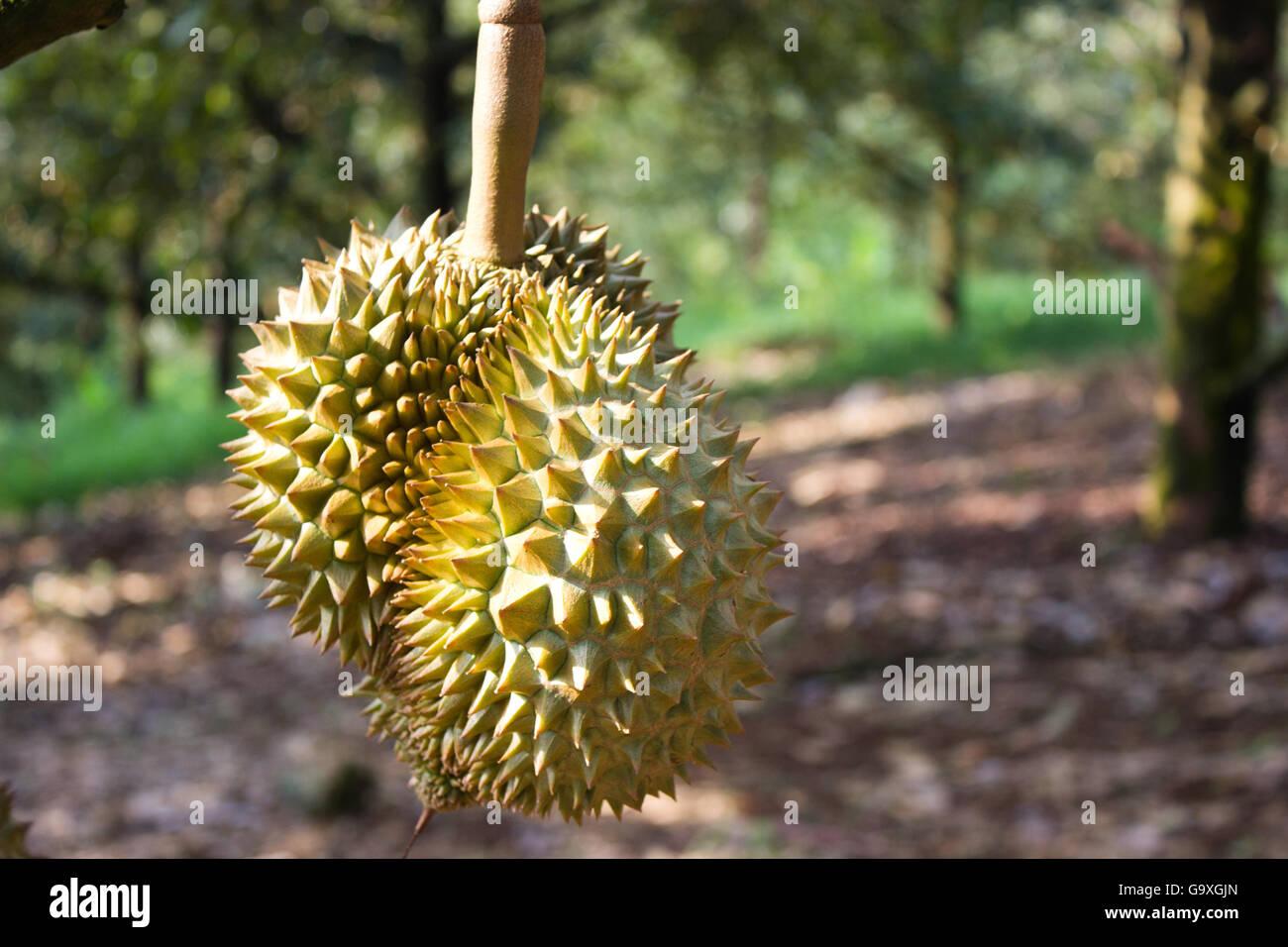 Thai fruit durian tree in farm at Thailand Stock Photo: 109377933 - Alamy