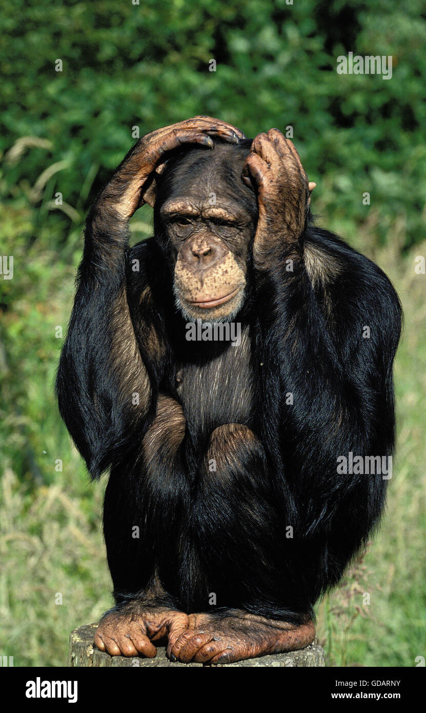 monkey high chair cover hire milton keynes chimpanzee pan troglodytes, adult with funny face, scratching its stock photo: 111490903 - alamy