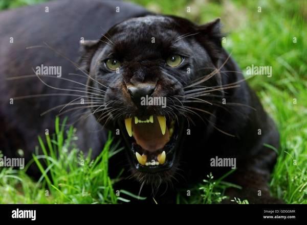 Snarling Black Panther Animal