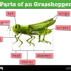 Grasshopper Insect Diagram Club Car Golf Cart Headlight Wiring Showing Different Parts Of Illustration Stock