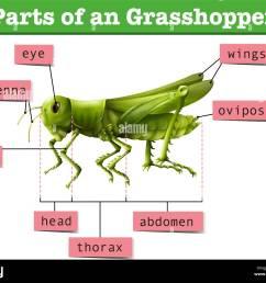 diagram showing different parts of grasshopper illustration [ 1300 x 1087 Pixel ]
