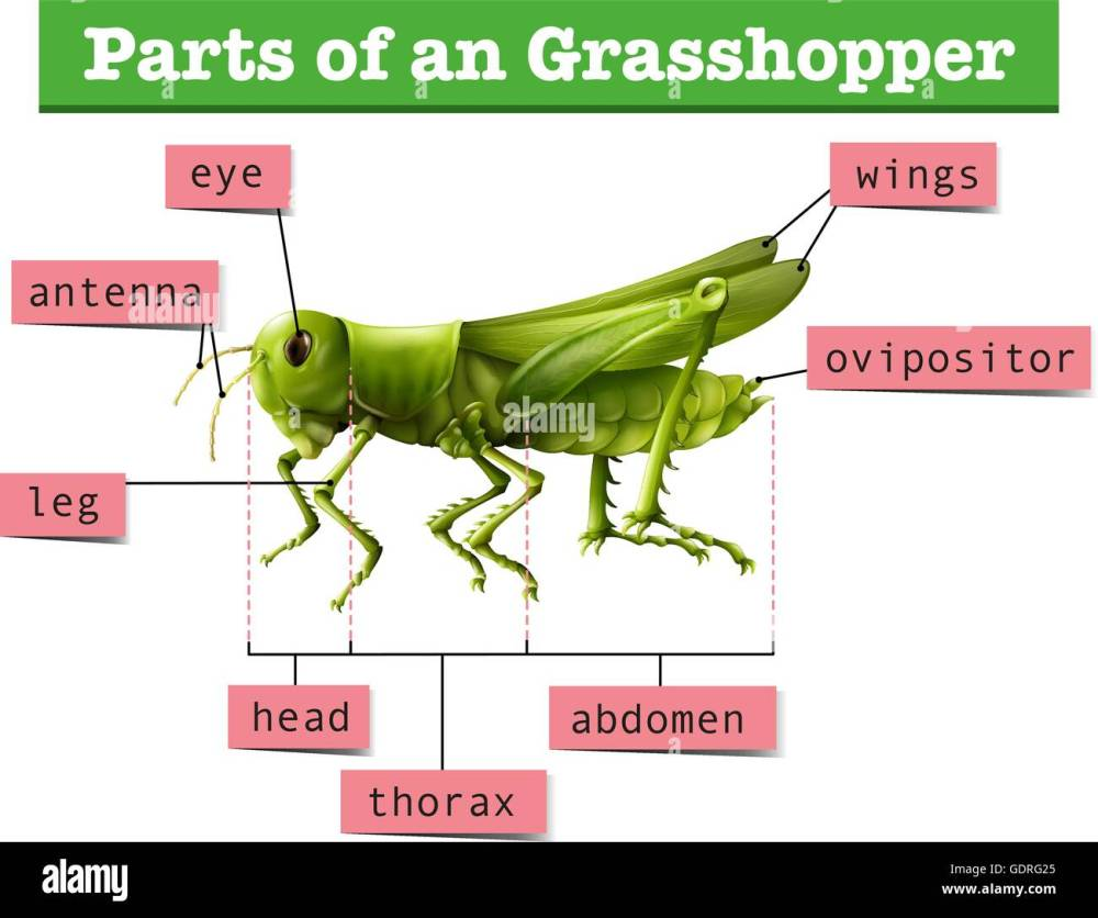 medium resolution of diagram showing different parts of grasshopper illustration