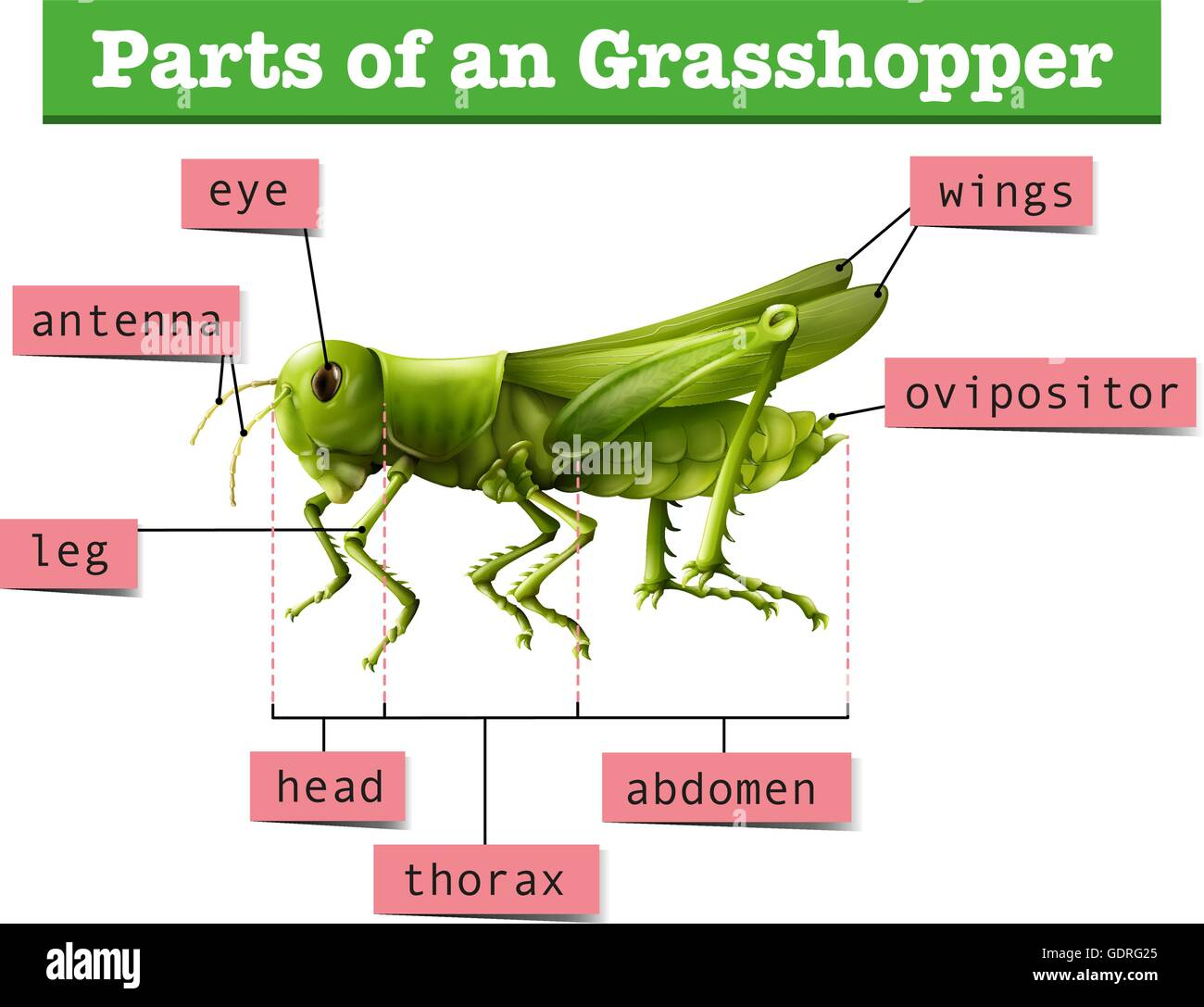hight resolution of diagram showing different parts of grasshopper illustration