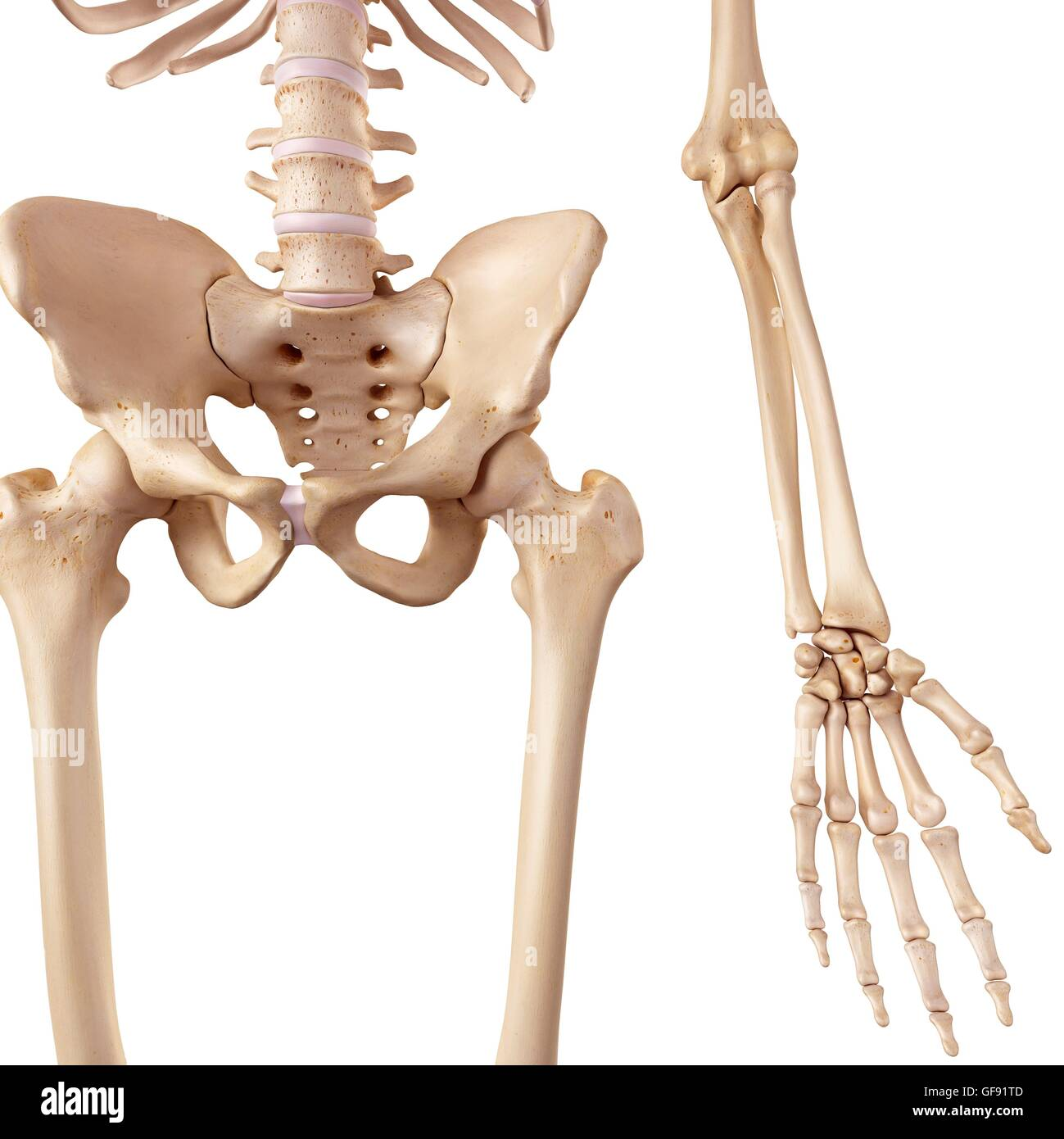 human bone structure diagram 2001 ford focus ignition wiring of hip bones schematic illustration stock photo 112681085 alamy