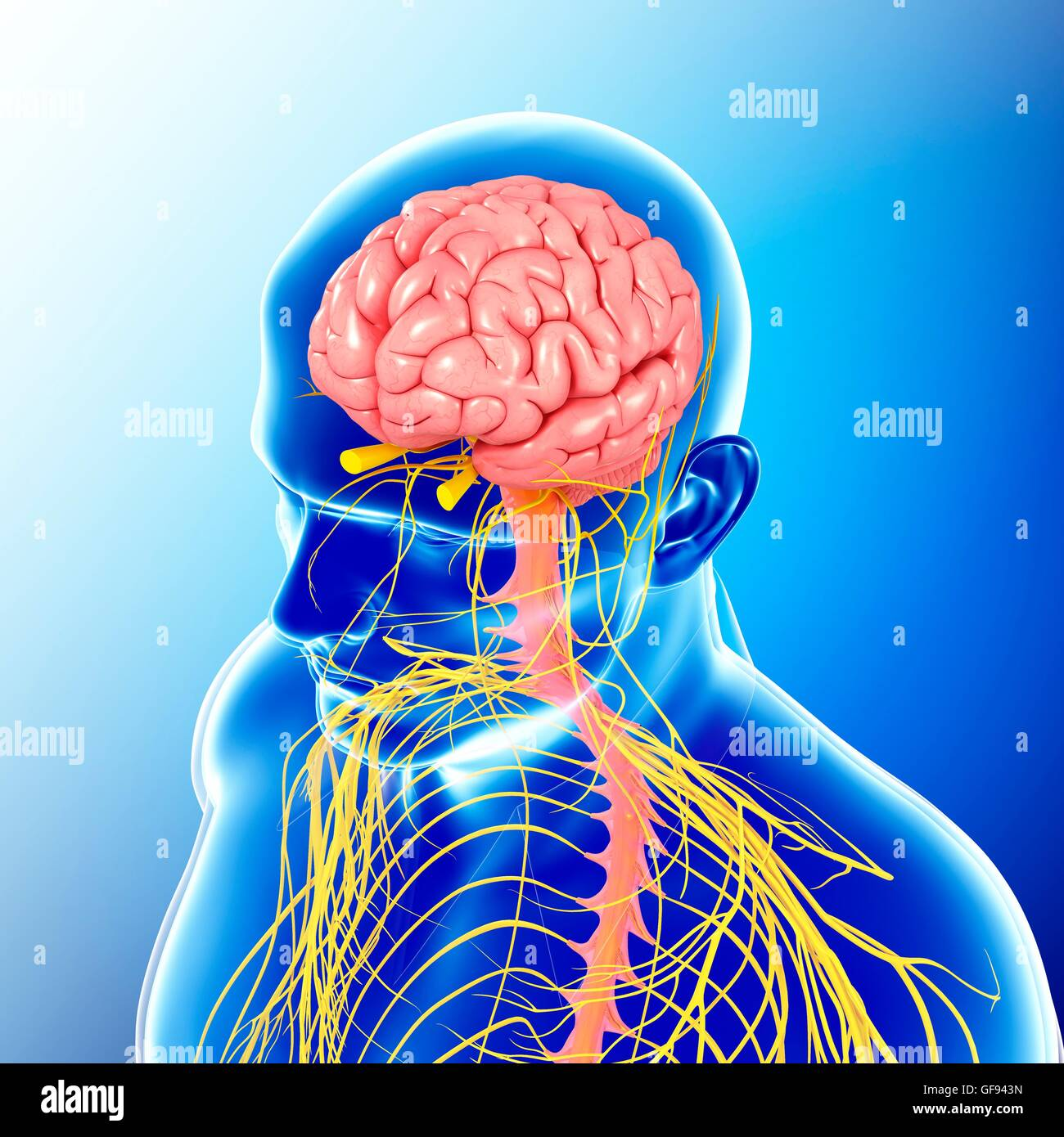 hight resolution of illustration of male head and chest nervous system