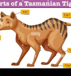 diagram showing parts of tasmanian tiger illustration stock image [ 1300 x 893 Pixel ]