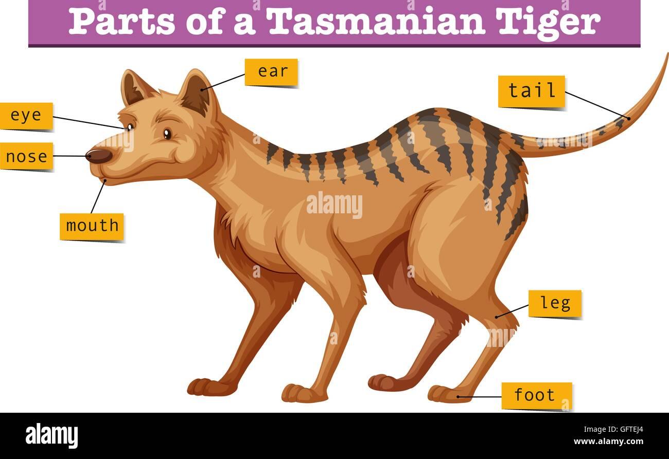 hight resolution of diagram showing parts of tasmanian tiger illustration stock image