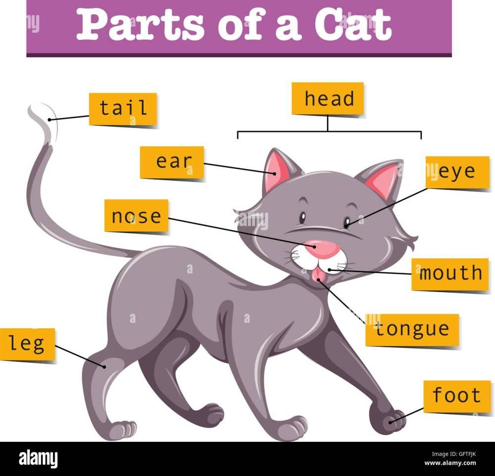 medium resolution of diagram showing parts of cat illustration