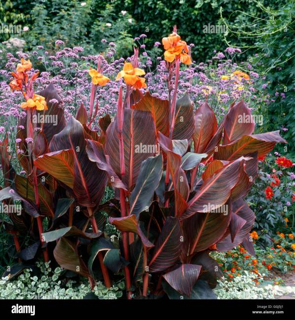 Canna Phasion Stock Photos & Canna Phasion Stock Images - Alamy