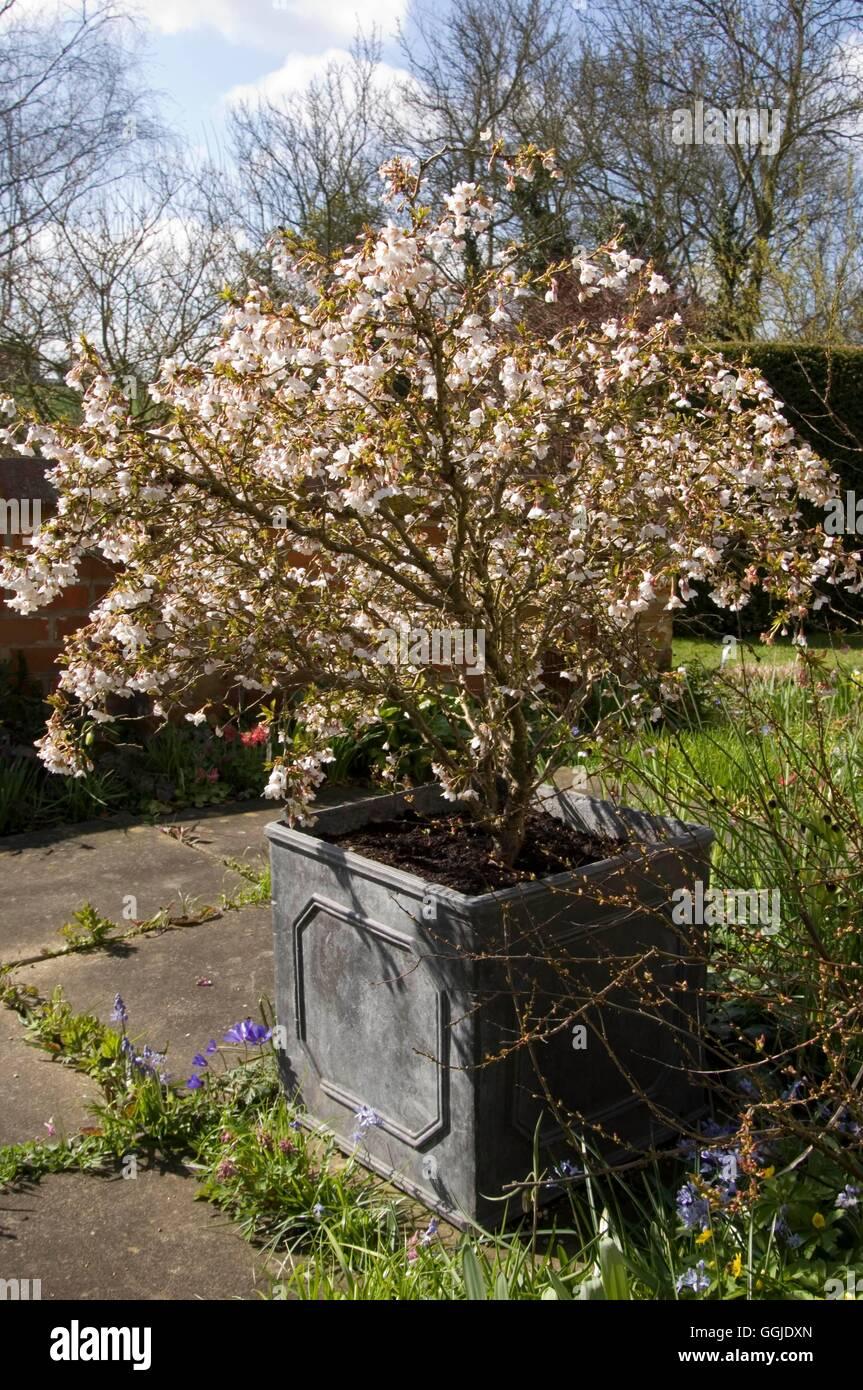 Prunus Kojo No Mai : prunus, Resolution, Stock, Photography, Images, Alamy