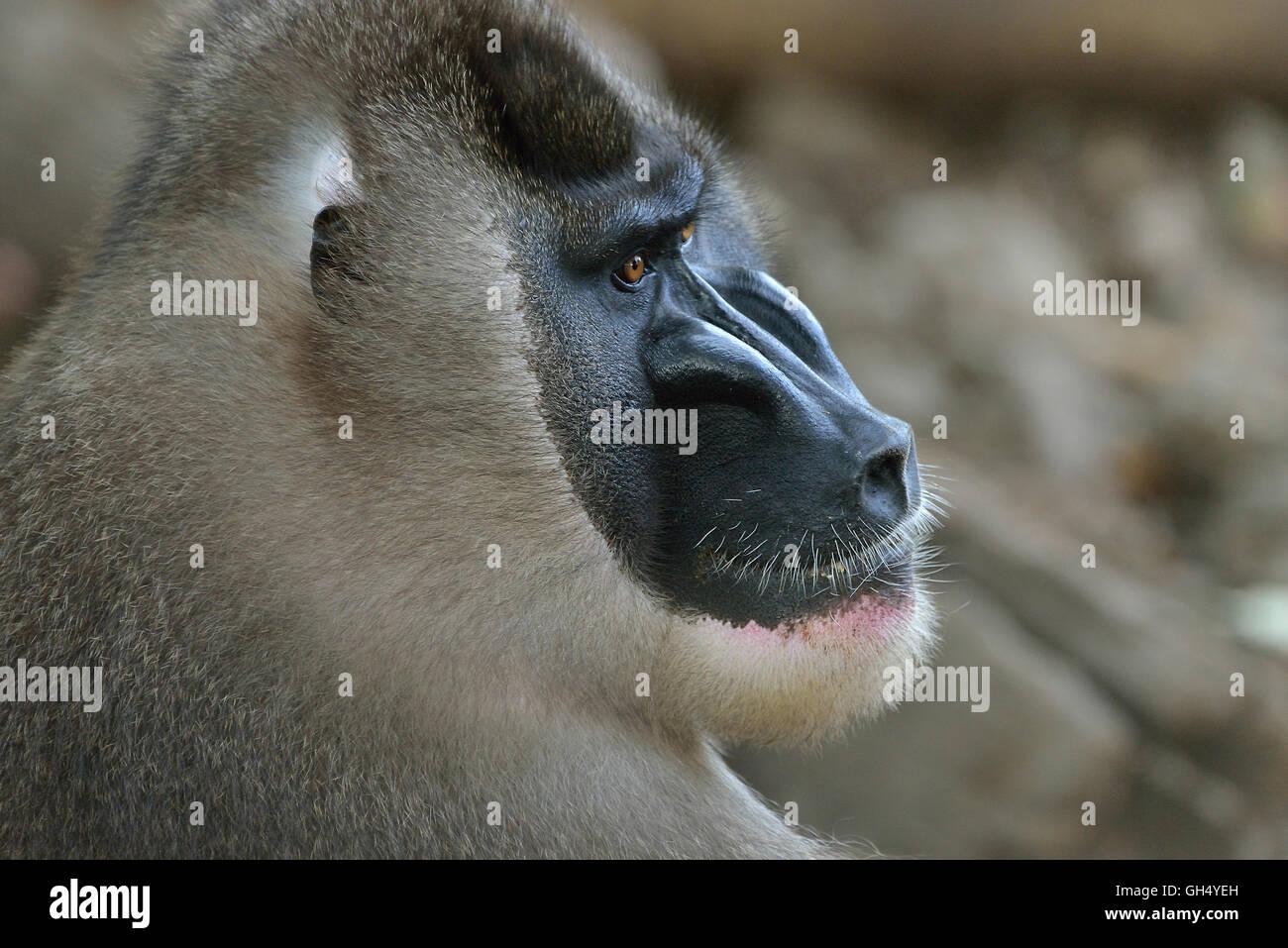 Zoology Animal Mammal Mammalian Monkeys Stock Photos