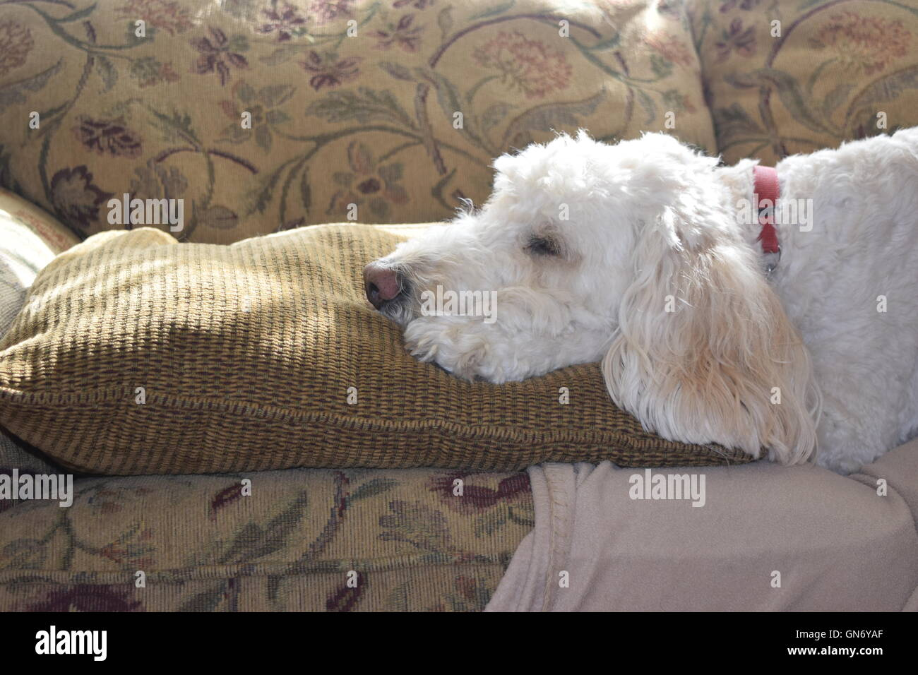 https www alamy com stock photo dog laying with head on pillow 116323159 html