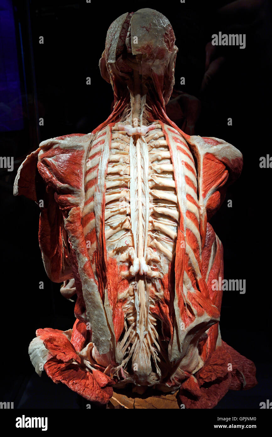 Plastinate. human back. spinal cord and nervous system. Body Worlds Stock Photo - Alamy