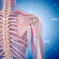 Human Vascular Anatomy Diagram 6 Pin Rocker Switch Wiring System Of The Shoulder Illustration Stock Photo