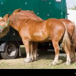 Suffolk Punch Draft Horse High Resolution Stock Photography And Images Alamy