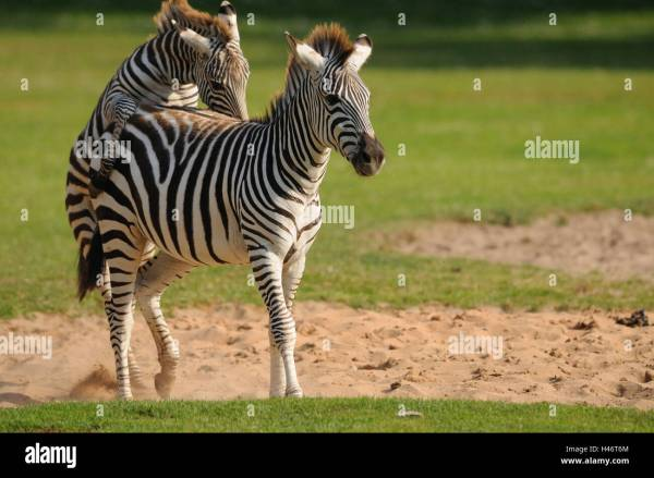 20 Zebra Mate Pictures And Ideas On Meta Networks