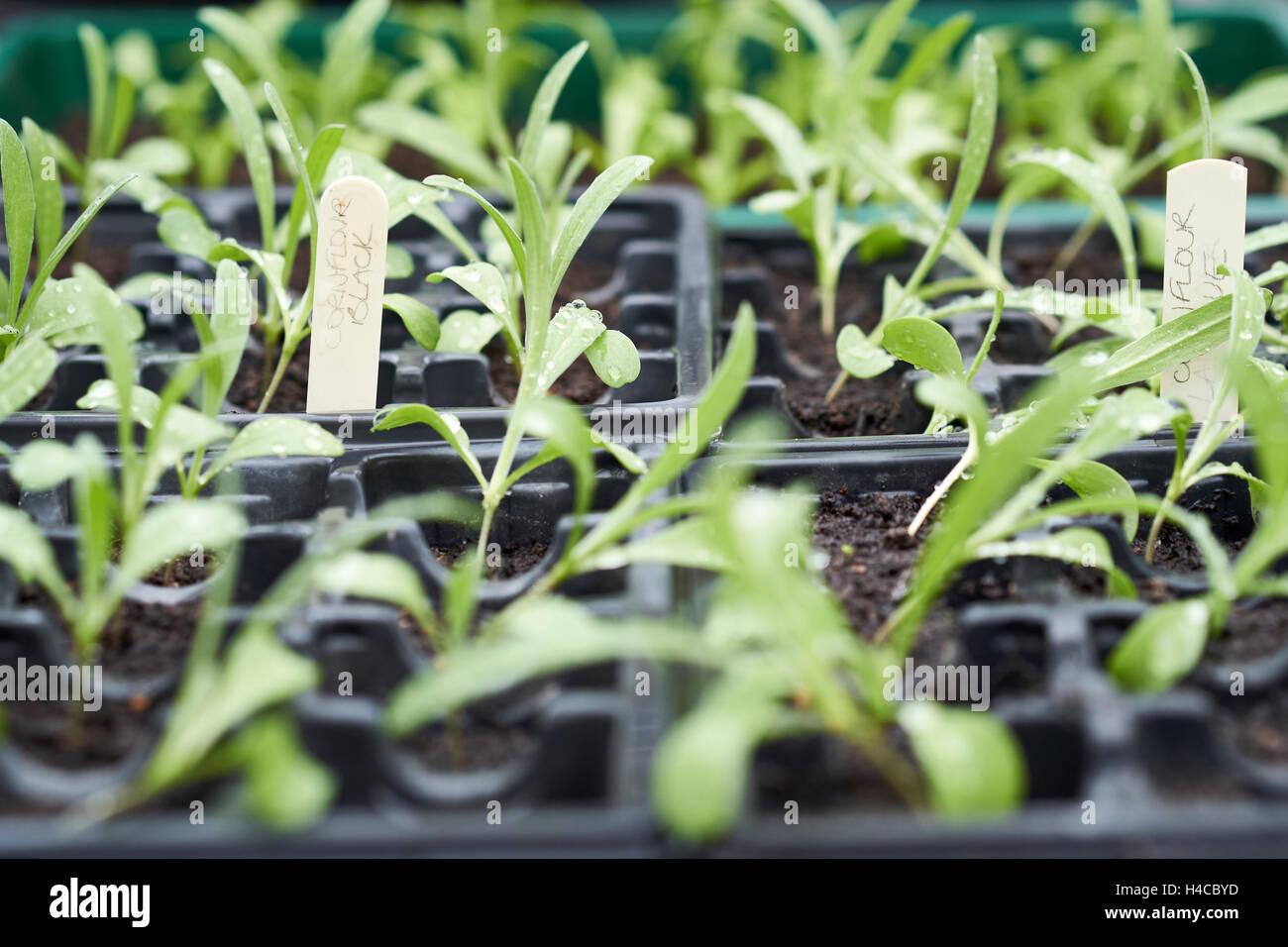 cornflower seedlings stock photos