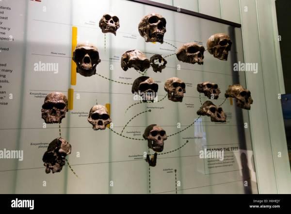 York Usa - Nov 19 Display Showing Human Evolution