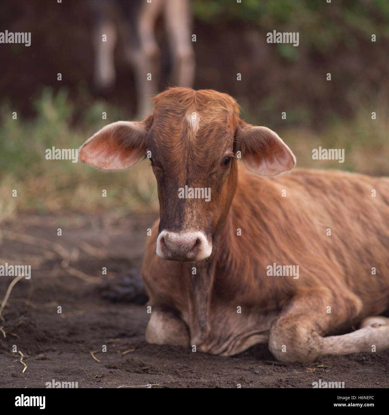 Baby Name Of Cow