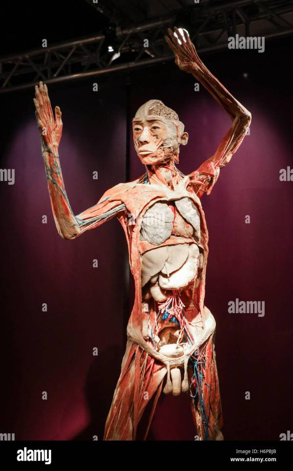 Real Bodies Discovery Of Human Body Exhibition In