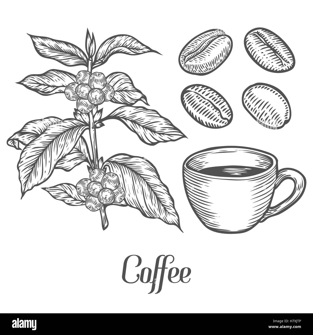 bean seedling diagram 2004 dodge stratus window wiring of a plant best library coffee black and white stock photos images alamy rh com