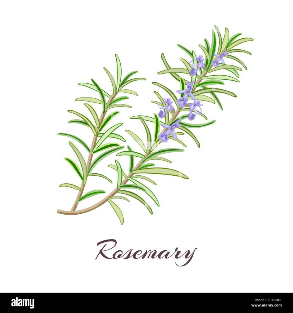 medium resolution of rosemary herb rosmarinus officinalis leaves and flowers vector illustration stock vector