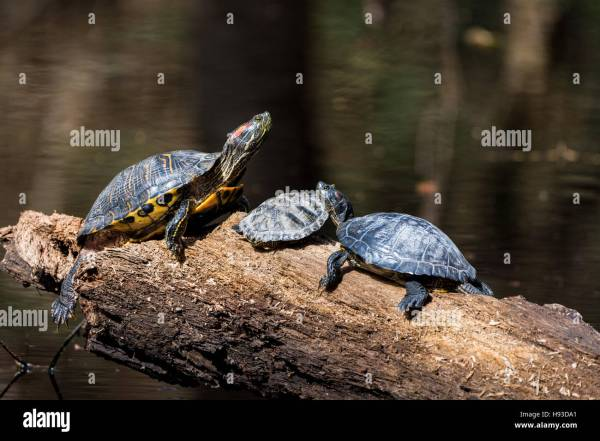 Red Eared Slider Turtle Basking In Sun Dead - Year of Clean