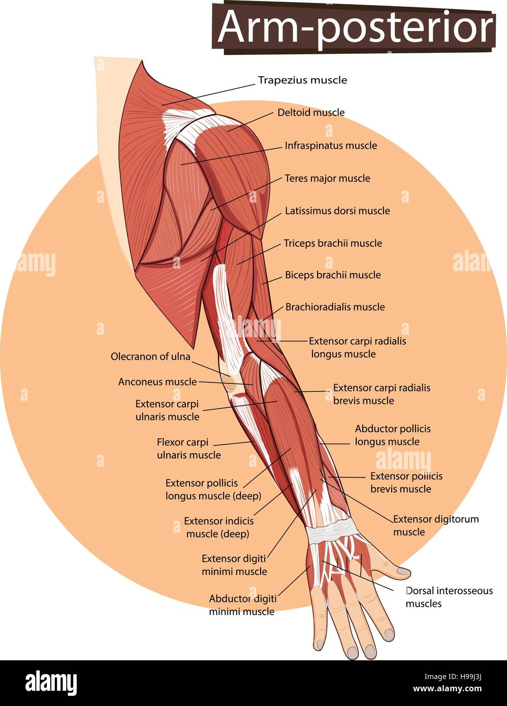 hight resolution of vector illustration of arm anatomy stock image