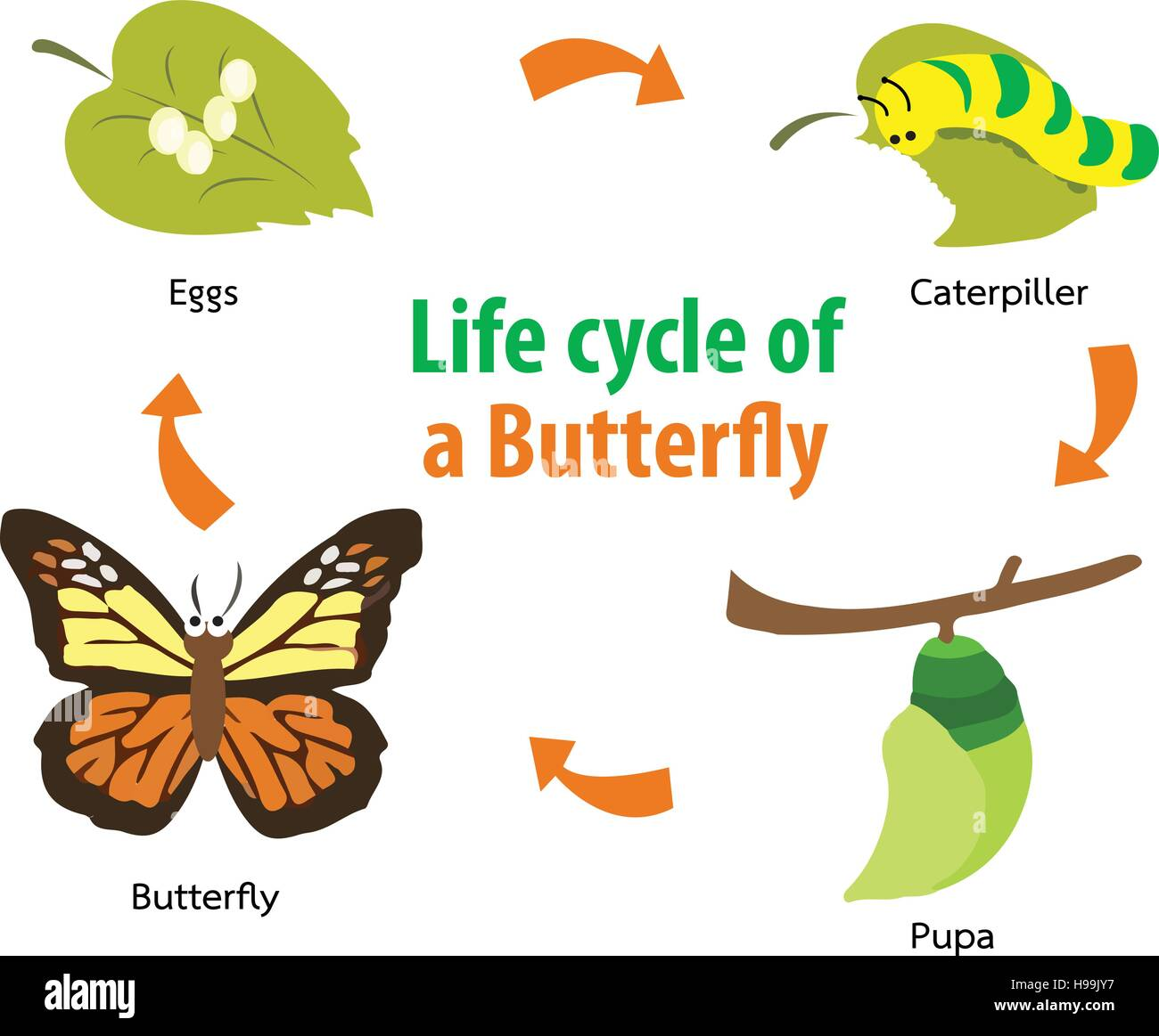 Vector Illustration Of Butterfly Life Cycle Stock Vector Art Amp Illustration Vector Image