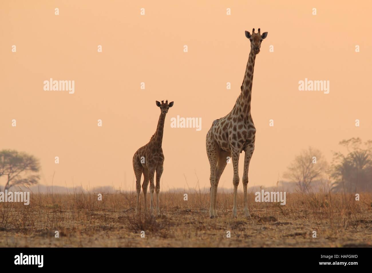 giraffe african wildlife background
