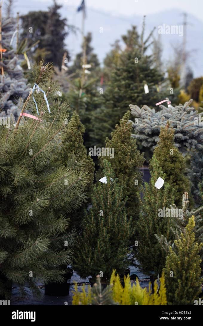 Eby Pines Christmas Trees Hours | Christmaswalls.co