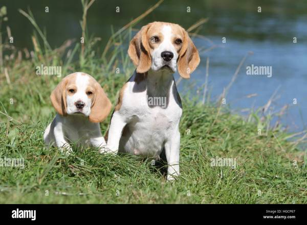 Beagle Dog Adult And Puppy Stock & - Alamy