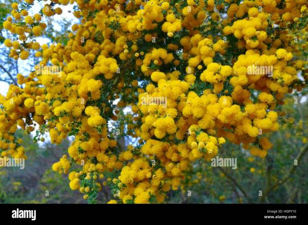 Big Yellow Acacia Flowers Year Of Clean Water