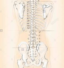 diagram of the human spine with numbers for cervical thoracic and lumbar vertebrae [ 863 x 1390 Pixel ]