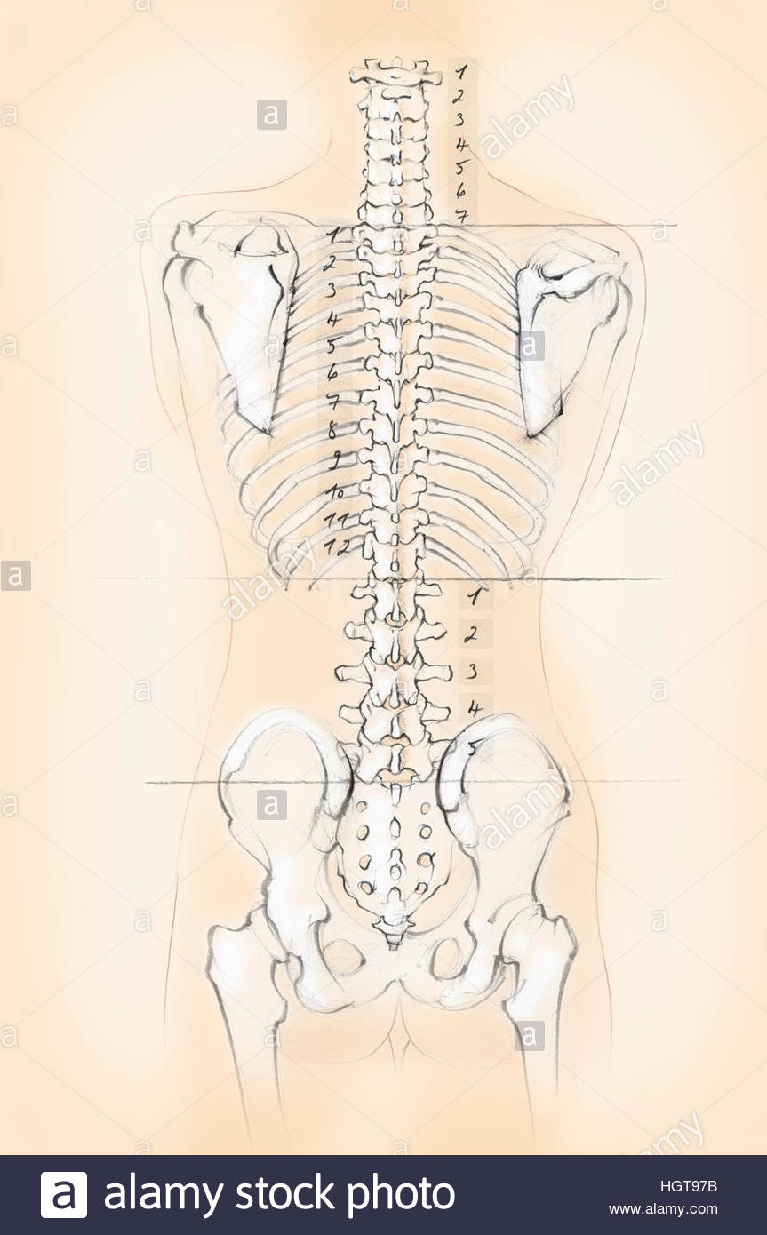hight resolution of diagram of the human spine with numbers for cervical thoracic and lumbar vertebrae