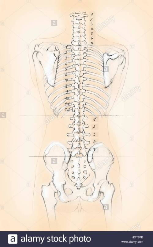 small resolution of diagram of the human spine with numbers for cervical thoracic and lumbar vertebrae