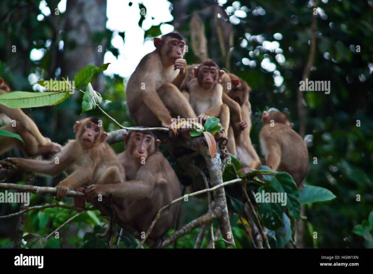 Image result for short tailed macaque borneo