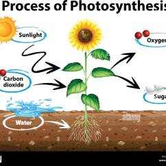 Draw A Diagram Of Photosynthesis 3sgte Swap Wiring Showing Sunflower And Process