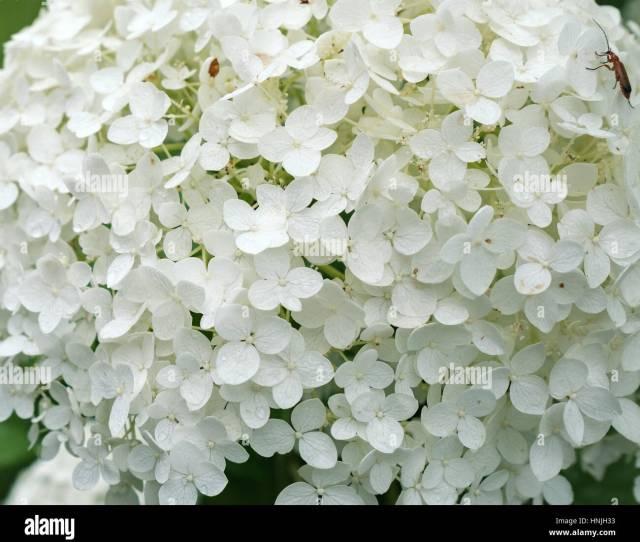 White Hydrangea Arborescens Annabelle Flower Close Up Stock Image
