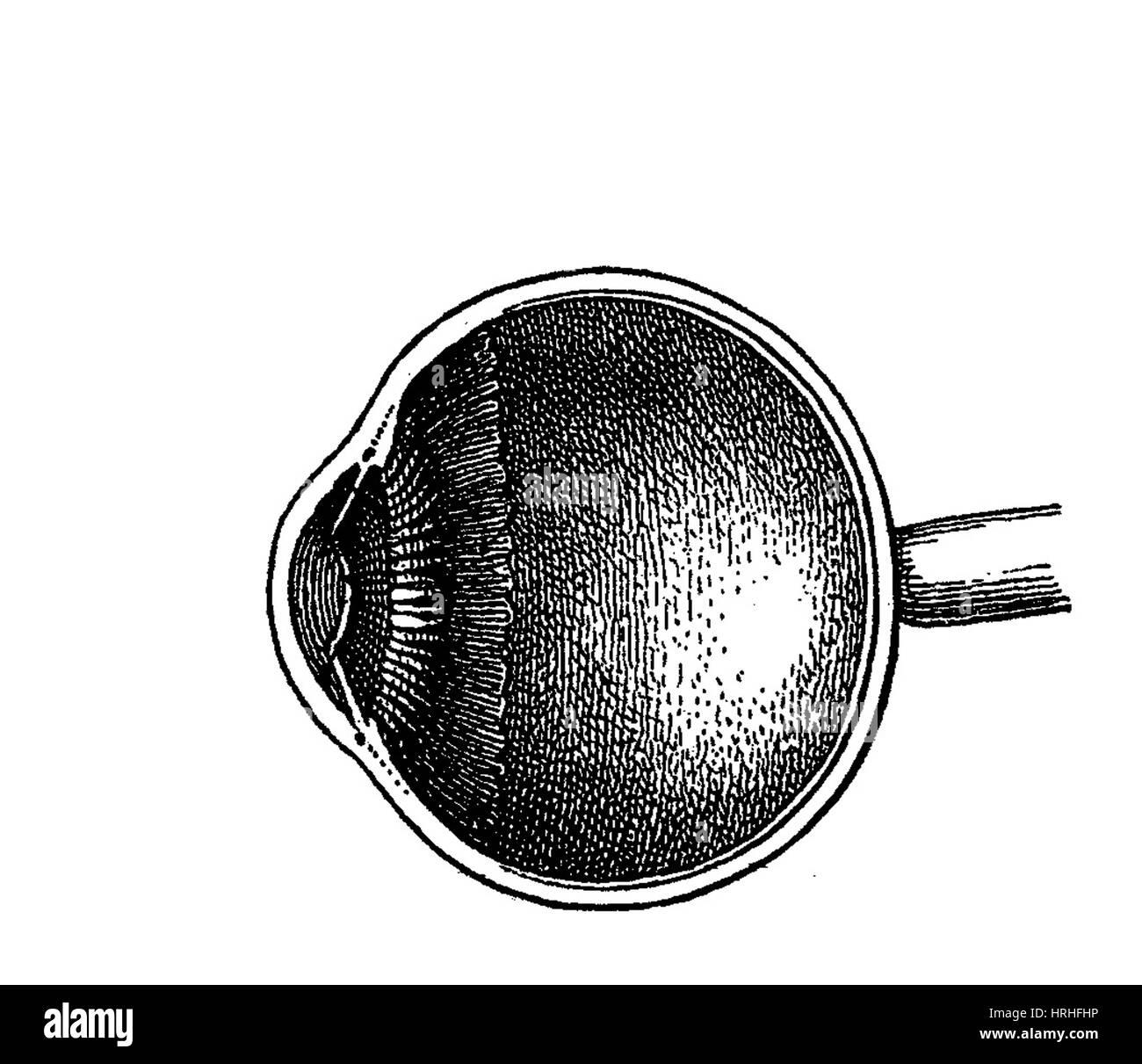 hight resolution of eye anatomy stock image