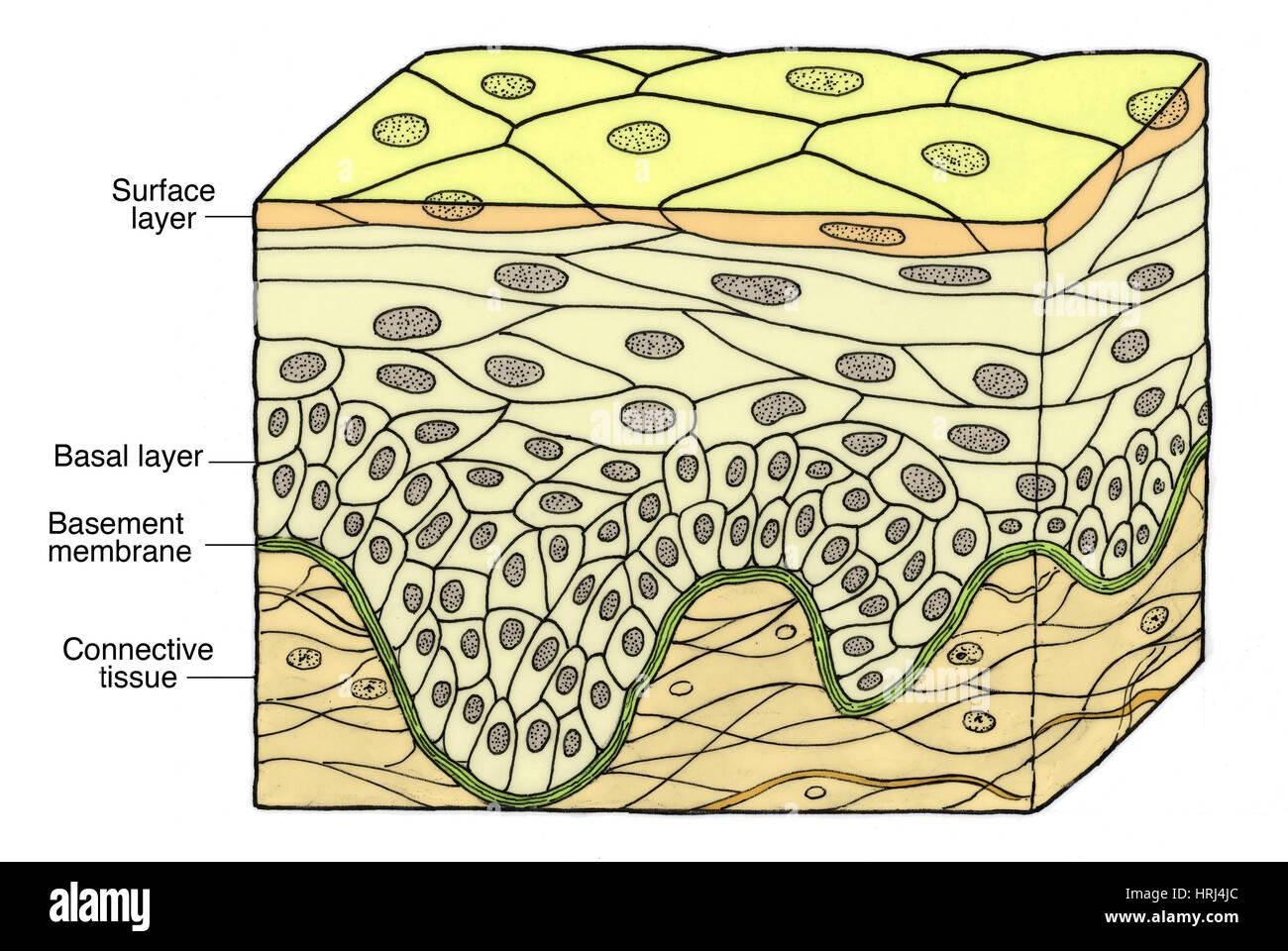 Illustration Of Stratified Squamous Epithelium Stock Photo