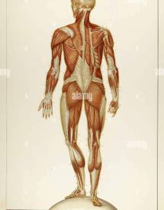 Historical anatomical illustration stock image also atlas photos  images alamy rh