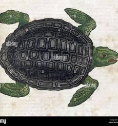 sea turtle historiae animalium 16th century stock image [ 1300 x 1178 Pixel ]