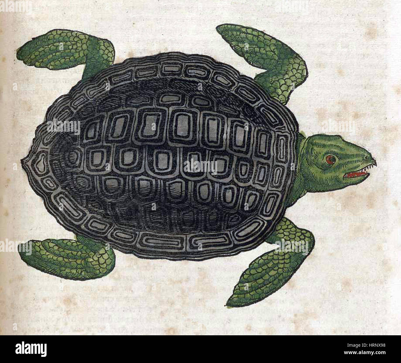 hight resolution of sea turtle historiae animalium 16th century stock image