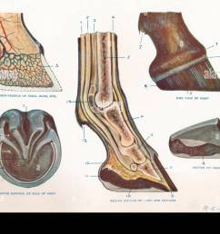 structure of the foot of a horse c1907 c1910 artist re [ 1300 x 982 Pixel ]