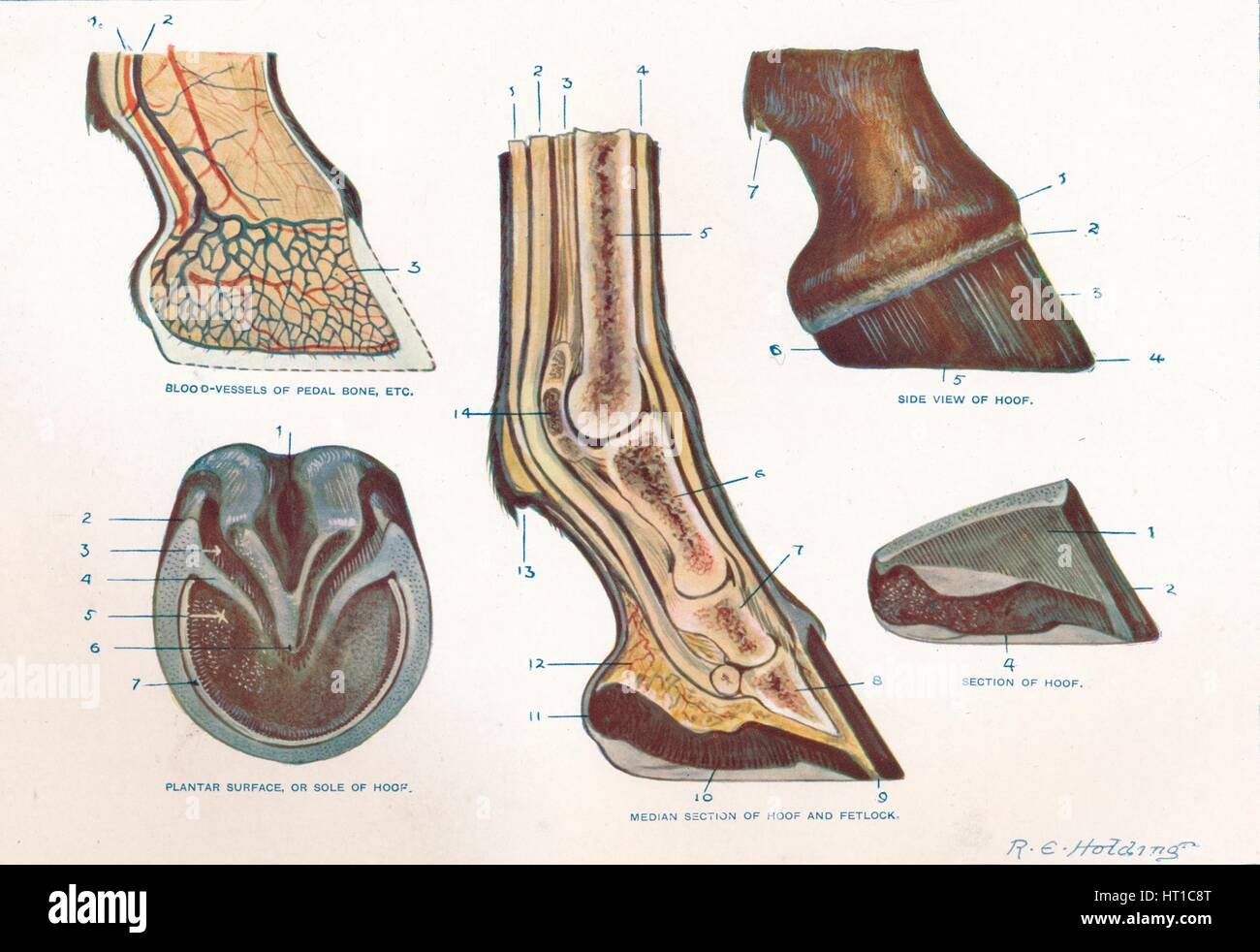 hight resolution of structure of the foot of a horse c1907 c1910 artist re