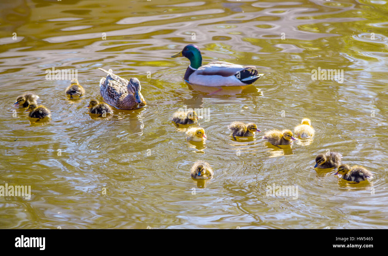 ducklings family of wild